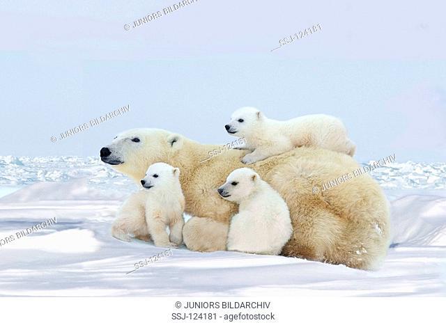 polar bear - with three cubs / Ursus maritimus
