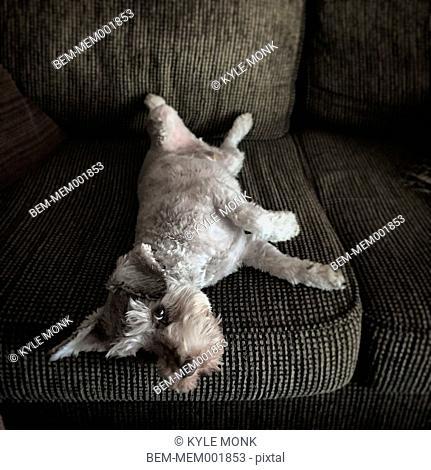 High angle view of dog laying on sofa