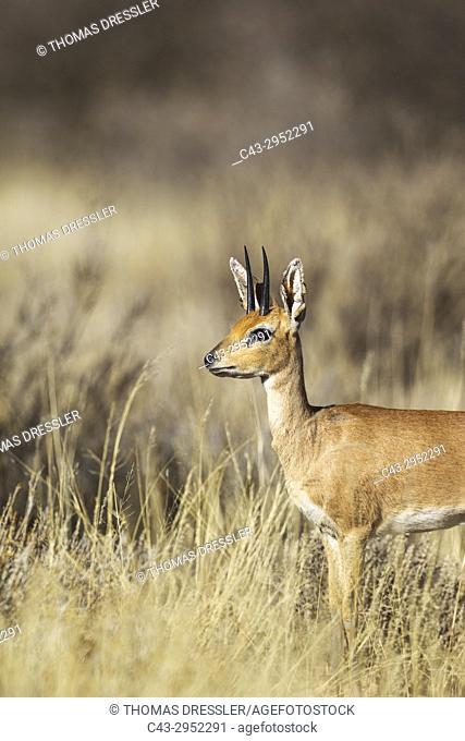 Steenbok (Raphicerus campestris). Male. Kalahari Desert, Kgalagadi Transfrontier Park, South Africa