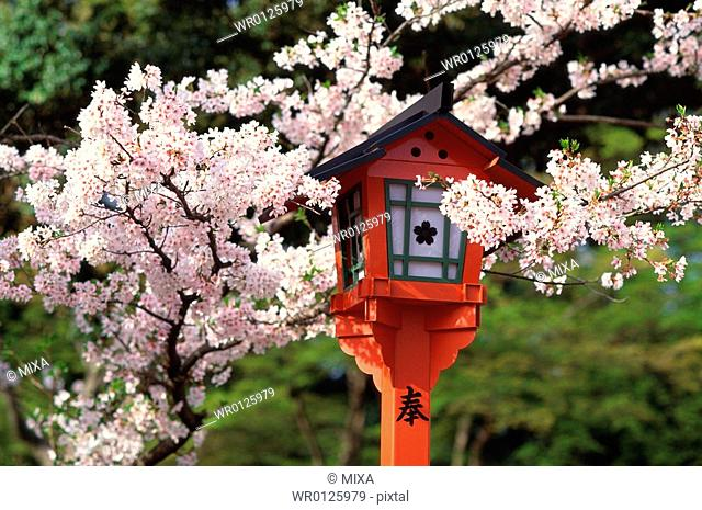 Cherry blossoms, Hirano-jinja Shrine, Kyoto Prefecture, Japan