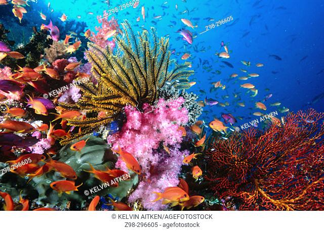 Crinoids (Crinoidea), soft corals (Dendronethya sp.) and reef fish on coral reef. Lomoviti area. Fiji