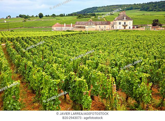 Vineyards, Côte de Beaune, Côte d'Or, Burgundy Region, Bourgogne, France, Europe