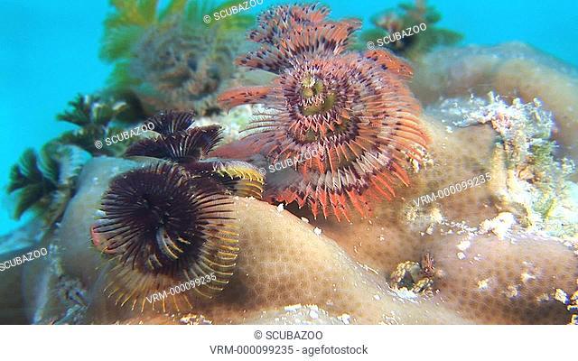 Close up Christmas Tree coral Spirobranchus giganteus opening to camera, Maldives, Indian Ocean