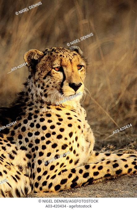 Cheetah, Acinonyx jubatus, Sabi Sabi, Greater Kruger National Park, South Africa