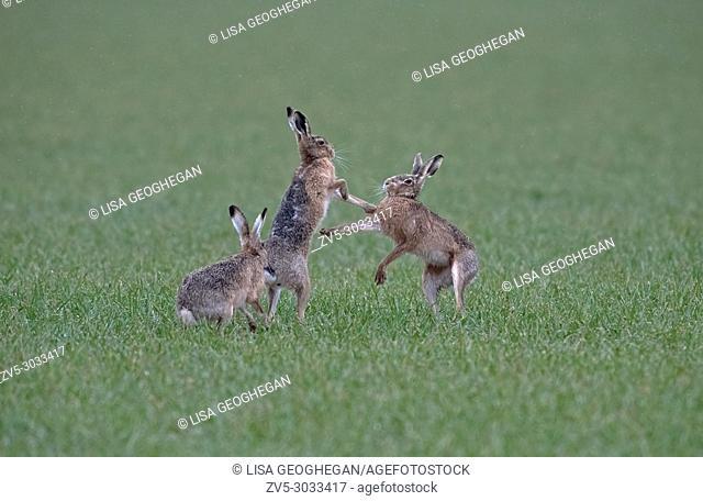 Brown Hares- Lepus europaeus, boxing in the rain. Spring. Uk