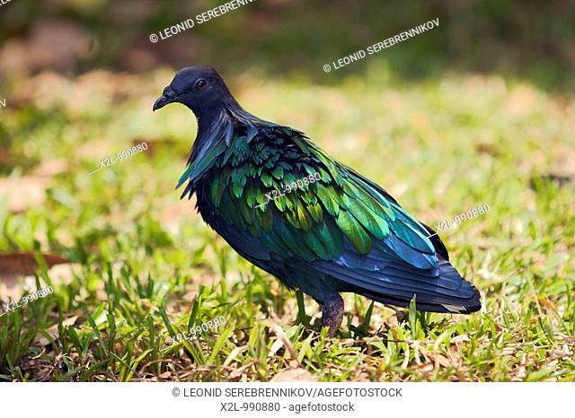 Nicobar pigeon  Scientific name: Caloenas nicobarica  Kuala Lumpur Bird Park, Malaysia