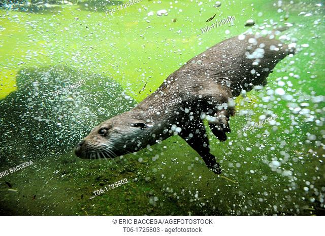European river otter swimming underwater Lutra lutra Captive, Alsace, France