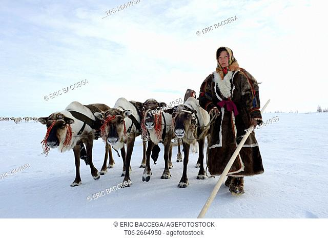 Ekaterina Yaptik, Nenets woman leading train of Reindeer (Rangifer tarandus) sleds on her spring migration in the tundra, her child is sitting in the sled