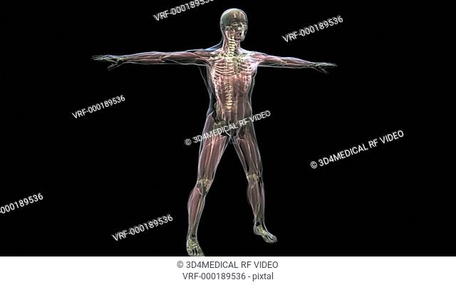An x-ray view, revealing the musculoskeletal system, of the male body is rotated as the camera zooms in slightly