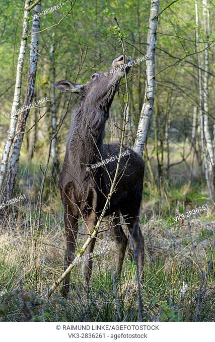 Moose, Elk, Alces alces, Germany, Europe