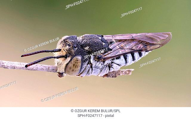 Leaf cutting cuckoo bee (Coelioxys) at the tip of a thin branch
