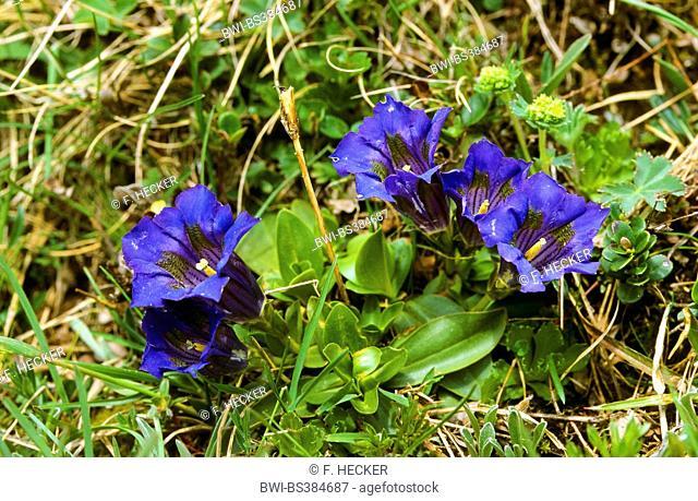 trumpet gentian (Gentiana acaulis), blooming, Germany