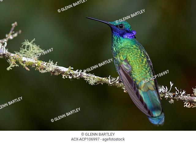 Sparkling Violetear (Colibri coruscans) perched on a branch in the mountains of Colombia, South America