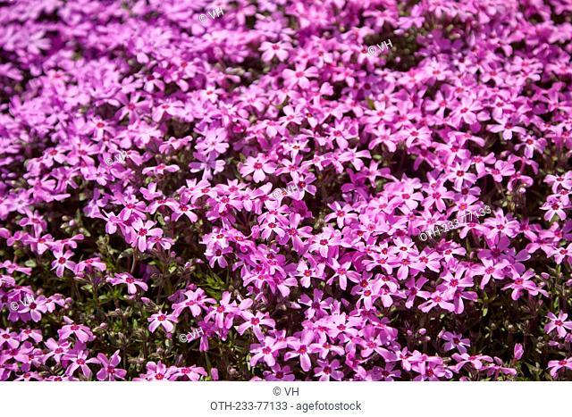 Carpet of vivid pink and purple moss phlox blossom, Higashimokoto Shibazakura Park, Ozora-cho, Abashiri-gun, Hokkaido, Japan