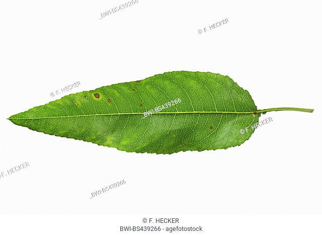 Almond (Prunus dulcis, Prunus amygdalus, Amygdalus communis, Amygdalus dulcis), single almond leaf, underside, cutout