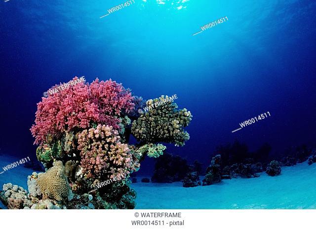 Corals at Sandbottom, Red Sea, Sudan