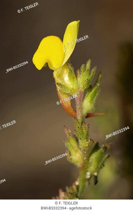 Toadflax (Linaria bipunctata subsp. glutinosa), blooming, Portugal, Aljezur