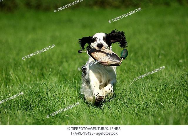 retrieving English Springer Spaniel