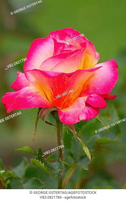 Granada rose, Heirloom Roses, St Paul, Oregon