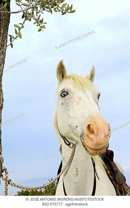 Camargue horse, Aigues-Mortes. Petite Camargue, Gard, Languedoc-Roussillon, France