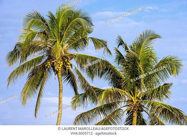 Coconut Trees (Cocos nucifera) in Galle Fort, Old Town of Galle and its Fortifications, Southern Province, Sri Lanka, Asia
