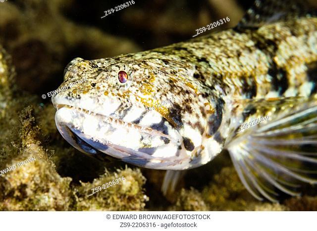 Variegated Lizardfish (Synodus variegatus) Lembeh Strait, Indonesia