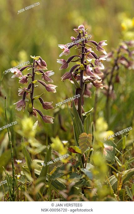 Three flowering Marsh Helleborine (Epipactis palustris), the Netherlands, gelderland, Koolmansdijk