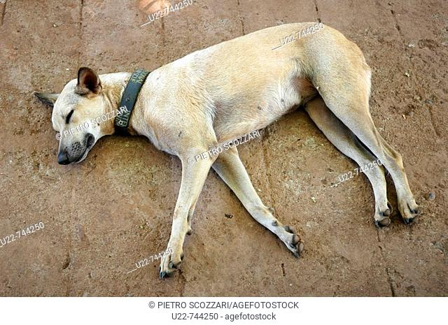 Assagao Goa, India, a recovering dog sleeping at the International Animal Rescue center