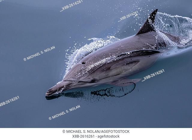 Adult long-beaked common dolphin, Delphinus capensis, surfacing near Isla Carmen, Baja California Sur, Mexico