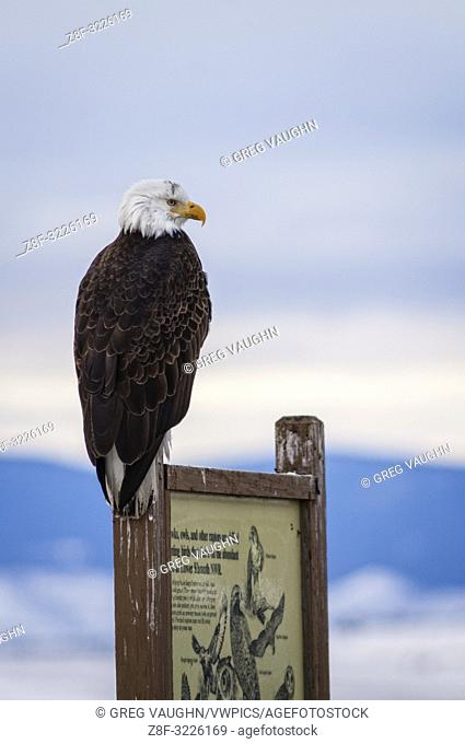 Bald eagle perched on an interpretive sign on the auto tour route in Lower Klamath National Wildlife Refuge on the Oregon-California border