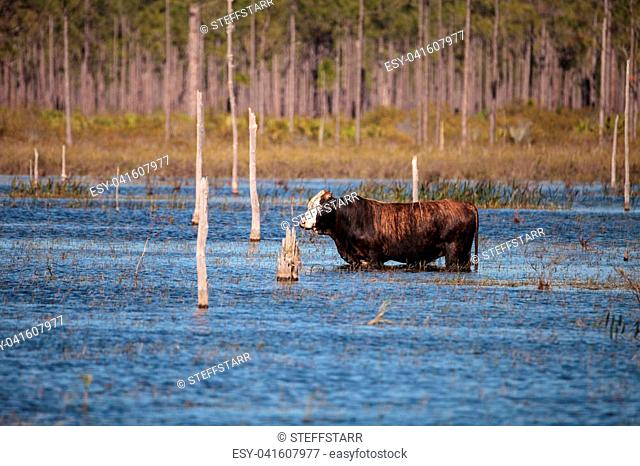 Herd of cattle travel through a marsh in Louisiana and graze as they go