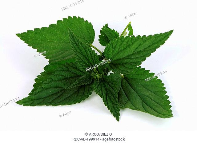 Nettle leaves, Urtica dioica