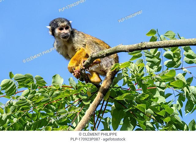 Black-capped squirrel monkey / Peruvian squirrel monkey (Saimiri boliviensis peruviensis) foraging in tree, native to South America