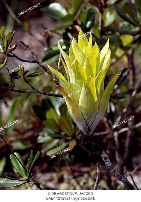 Powdery-strap air plant (Catopsis berteroniana), Canaima National Park, (UNESCO World Heritage List, 1994), La Escalera, Bolivar, Venezuela
