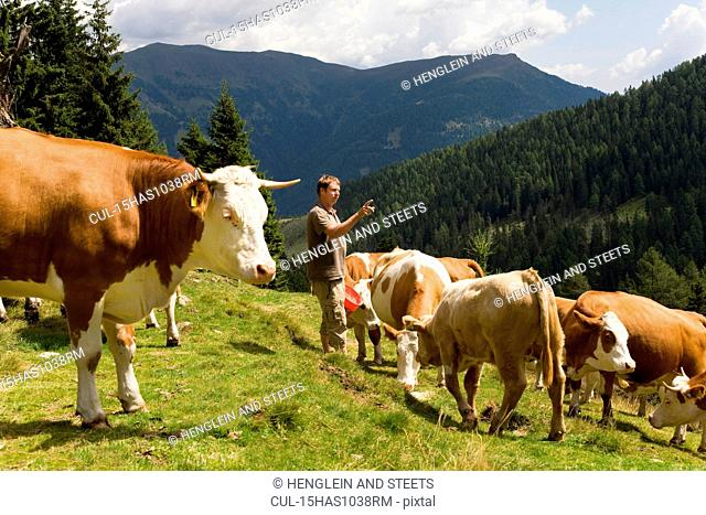 farmer counting cows on mountain pasture