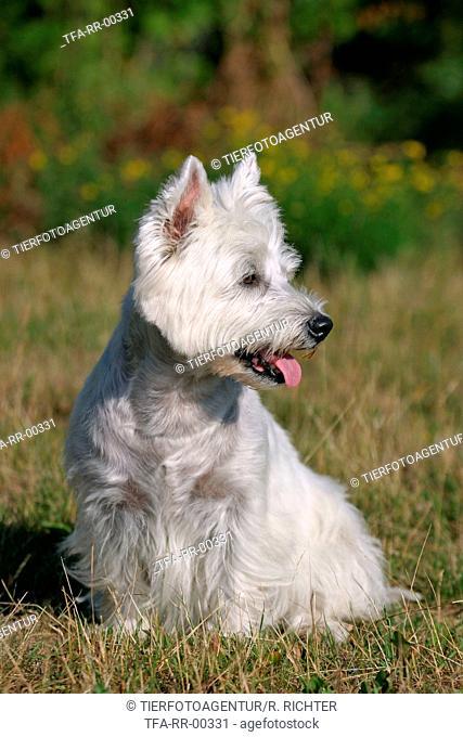 sitting West Highland White Terrier