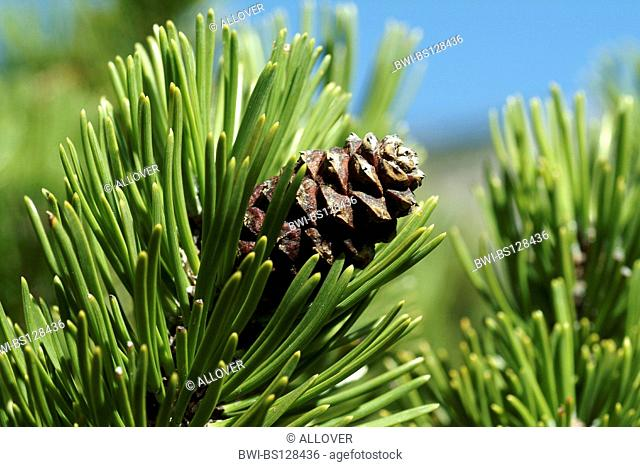 cone of a pine tree