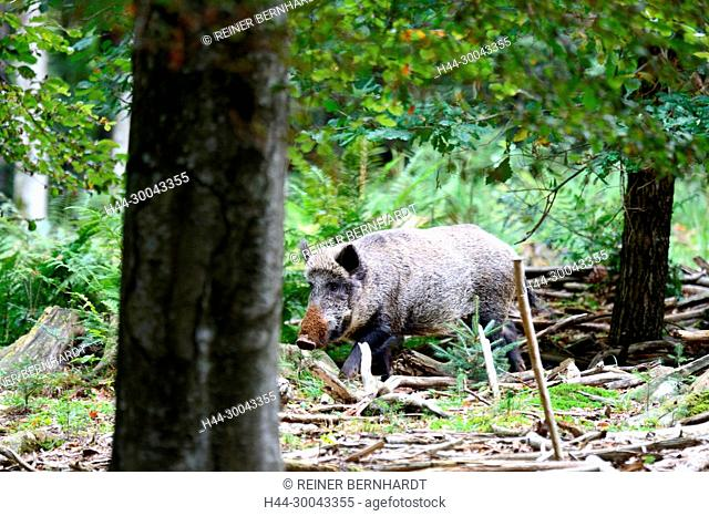 Pigs, beech mast, beech forest, real pigs, autumn, boar, cloven-hoofed animal, sow, making a mess, making a mess in winter, black smock, black game, pig, pigs
