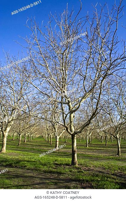 Agriculture - Dormant walnut orchard in early winter / Northern CA - Tehama County, nr. Corning