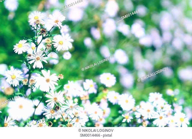 Daisy flowers in park bokeh background hd