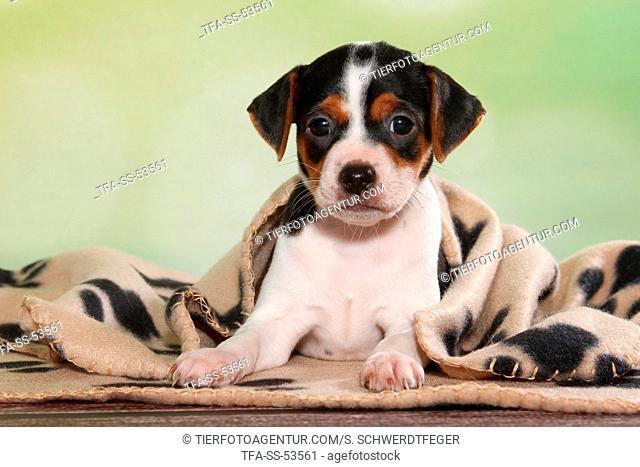 Dansk Svensk Gaardshund Puppy