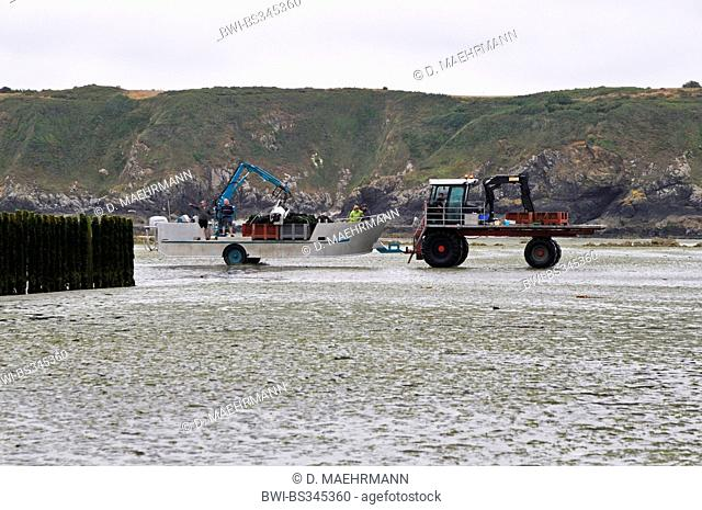 blue mussel, bay mussel, common mussel, common blue mussel (Mytilus edulis), tractor with amphibious craft going to mussel harvest at ebb-tide, France, Brittany