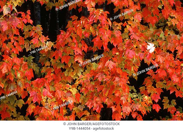 Autumn color of sugar maple Acer saccharum dominates northern hardwood forest, near Dixville Notch, northern New Hampshire, USA