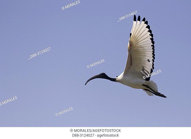 Africa, Ethiopia, Rift Valley, Ziway lake, African sacred ibis (Threskiornis aethiopicus), in flight