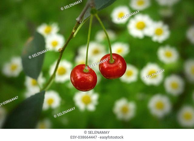 Cherries on a background field with daisies