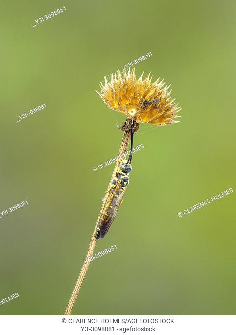A male Thynnid Wasp (Myzinum maculatum) roosts under the mature seedhead of a coastal plain honeycombhead (Balduina angustifolia)