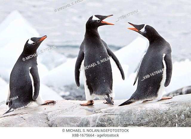 Adult gentoo penguins Pygoscelis papua on ice in Antarctica