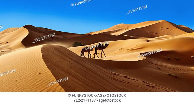 Camels amongst the Sahara sand dunes of erg Chebbi, Morocco, Africa