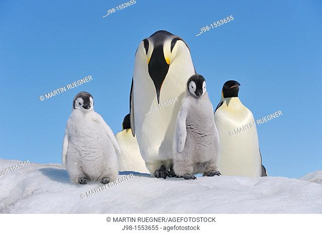 Emperor Penguin Aptenodytes forsteri adults and chicks  Snow Hill Island, Antarctic Peninsula, Antarctica