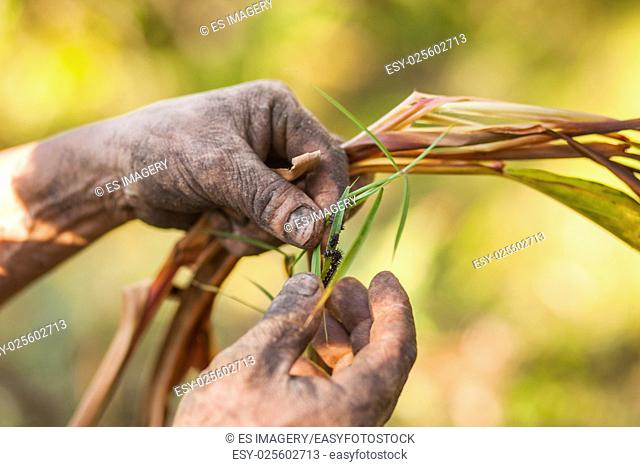 Nepali farmer examing a black cardamom (Amomum subulatum) plant